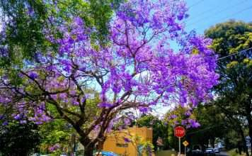 Jacaranda tree blooming season Sydney